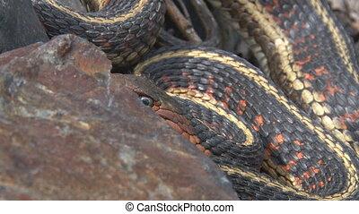 Garter snake coils and strike - Red-sided Garter Snake...