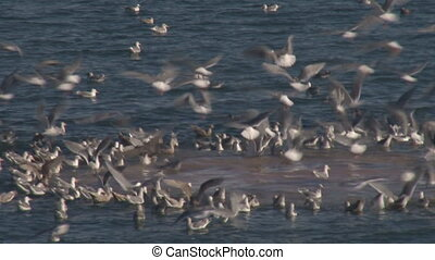 Sea Gulls Feeding Frenzy close - A horde of gulls in a...