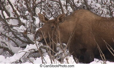 Moose cow browsing close 1 - Cow moose browsing on willow or...