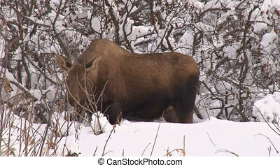 Moose Cow med. close 1 - Cow moose browsing on willow near...