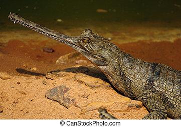 Gharial, cocodrilo