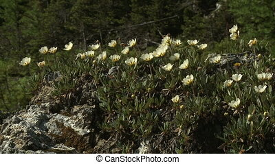 White Mountain Avens wildflowers - Patch of lovely alpine...