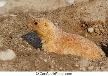 Prarie dog in his hole - Close up a single prarie dog...