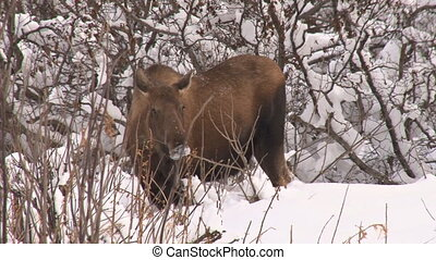 Moose cow medium close 2