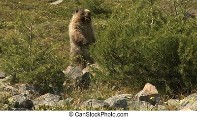 Hoary marmot in the Rocky Mountains