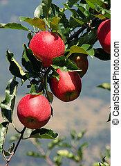 apple on tree 43