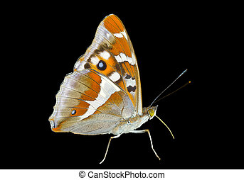 Butterfly (Apatura iris amurensis) 2 - A close up of the...