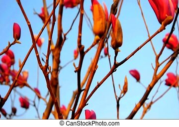 yu lan tree 2 red - A ya lan hua tree blowing in the wind...
