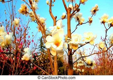 yu lan treeyellow 2 - these yu lan shu tree grows flowers...