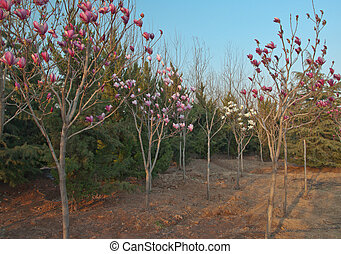 yulan shu blooming - these yu lan shu tree grows flowers...