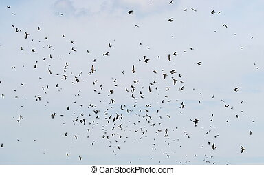 flock of birds, swallows Sand Martin