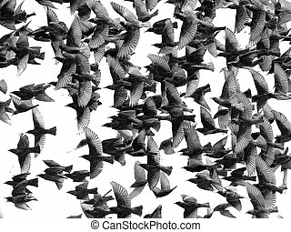 of birds isolated on white - close up flock of birds...