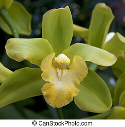 Vivid green orchid with yellow and white pistal, stamen,...