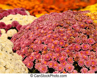 Fall Mums - Fall chrysanthemums in a variety of colors