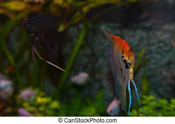 Scalar fish into an acvarium - Exotic fish species and...