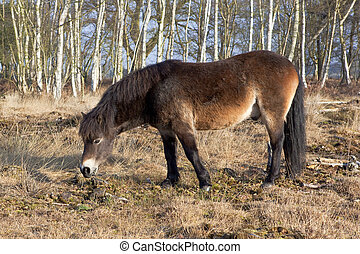 exmoor pony with birch trees - an exmoor pony with birch...