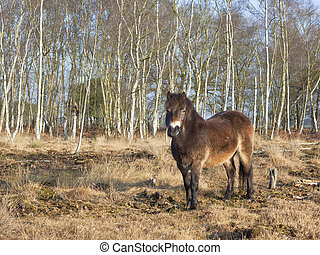 exmoor pony with birch trees 2 - an exmoor pony with birch...