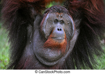The adult male of the Orangutan. Portrait of the adult male...