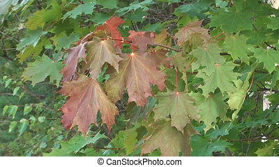 Maple tree. - Red and green autumn maple leaves swaying in...