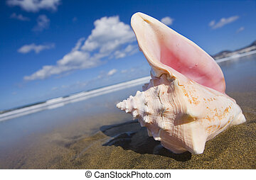 Queen Conch Shell - Queen conch shell on the beach at a...