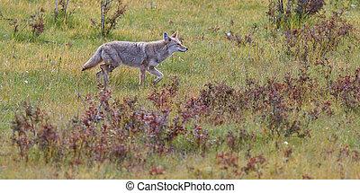 Coyote, Canis latrans, Jasper National Park, Alberta, Canada