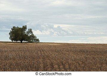 landscape - a lone kurrajong in a stubble paddock