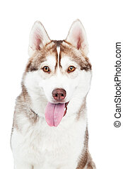 siberian husky dog - One adorable siberian husky dog with...