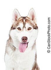 siberian husky dog - One adorable siberian husky dog with...