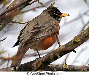 Birds - Red-Breasted Robin