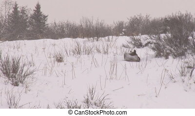 Moose sleeping in snow - Cow moose bedded down in snow...