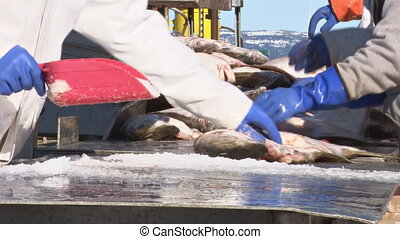 Sorting the Halibut Catch 2 - Close-up of the hands and...