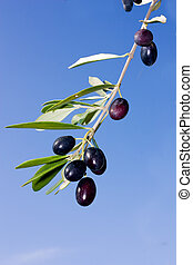 olive branch with ripe black olives