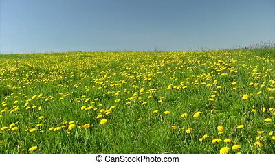 Field of dandelions - Summer field of dandelions on blue sky...