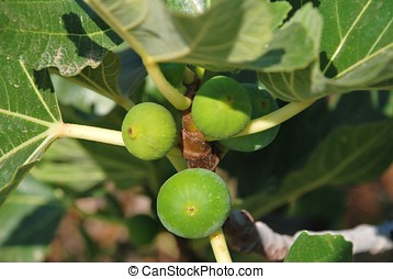 Green figs, Halki - Green figs growing on a fig tree at...