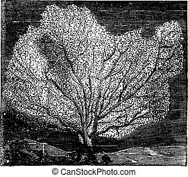 Sea fan or sea whip. Also called Gorgonian or Alcyonacea. Vintage engraving