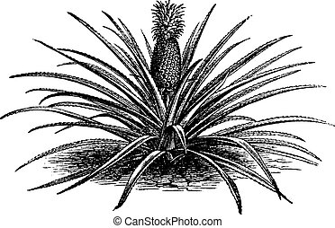 Pineapple, ananassa sativa or ananas comosus old vintage...