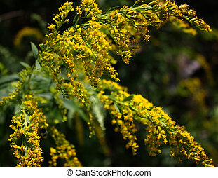 Goldenrod flowers blooming in late August.