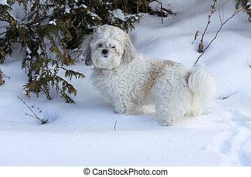 White Dog in Snow - Small white dog in the snow on a winter...