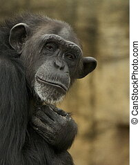 Old Man chimpanzee - Chimpanzee resembling old man. In...