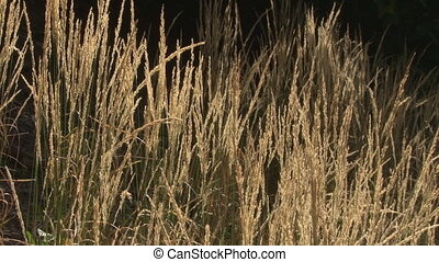 Amber glowing grasses in breeze - Amber sunlight slants...
