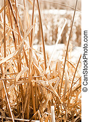 reed cane in the snow