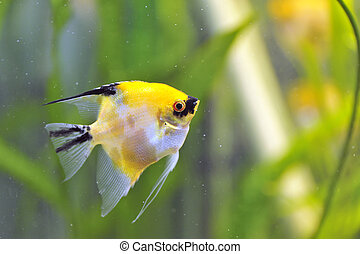 Gold Veil Angelfish