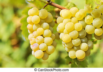 yellow  grapes in the vineyard