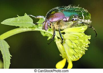A Anomala albopilosa beetle