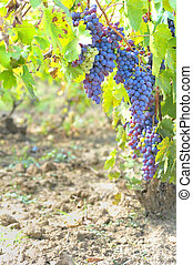 blue grapes in the vineyard
