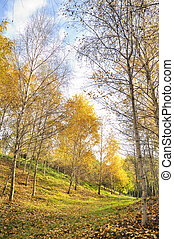 colors of autumn birch forest