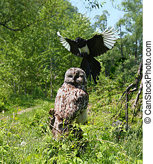 Birds - An aggressive magpie is attacking the owl sitting in...