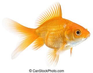 single goldfish - closeup of a single goldfish isolated on...