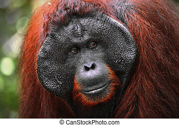 Alpha-male of the Orangutan - The adult male of the...