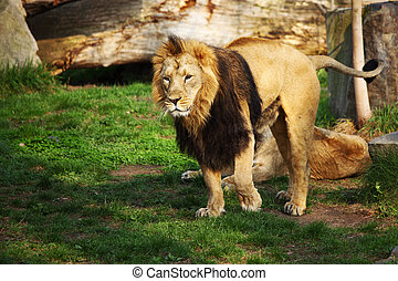 lion - close up lion in zoo